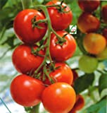 Seedstores : High Yield Tomato F1 RED RUBY Hybrid 25 Seeds for Kitchen Terrace Balcony Poly House Gardening