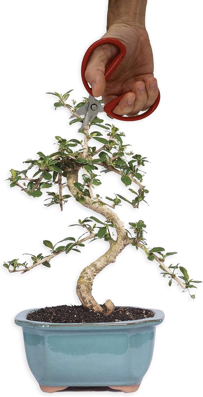 poda de Bonsai Cortes de precisi/ón y de peque/ñas Ramas y ra/íces Rak/è de bamb/ú R/&R SHOP Kit de Tijeras de precisi/ón Bonsai Juego de 4 Trimming