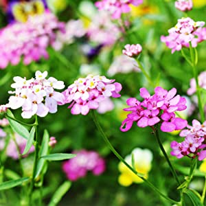 Candytuft Iberis Flower Garden Seeds - Empress Mixture - 1 Oz - Annual Flower Gardening Seeds - Iberis Amara