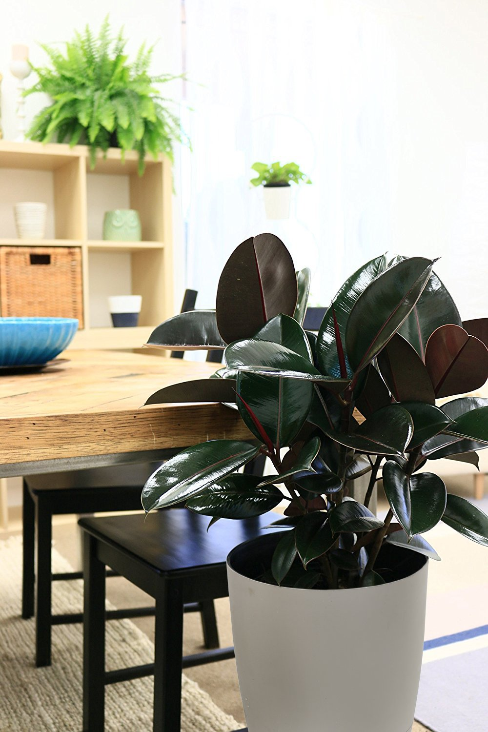 Costa Farms Burgundy Rubber, Ficus elastica, Live Indoor Plant, 2 to 3-Feet Tall, Ships with Décor Planter, Fresh From Our Farm, Excellent Gift or Home Décor by Costa Farms (Image #3)