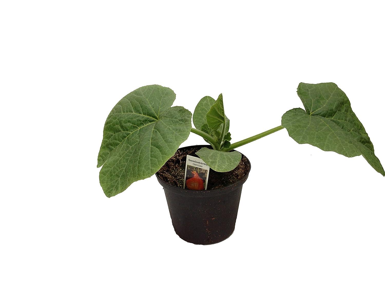 Hokkaido Kurbis Pflanze Amazon De Garten