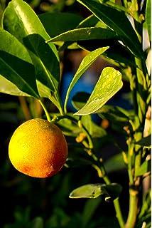 Amazon.com: 1 paquete de 15 semillas de naranja duro ...