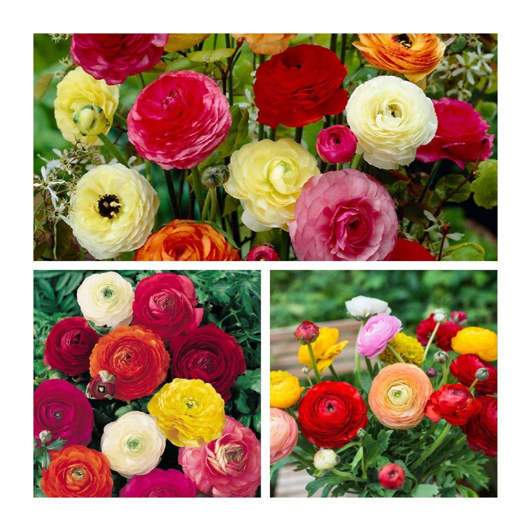Humphreys Garden Ranunculus Mixed Bulbs Size 4//5 Bulbe//tubercule//racine 100