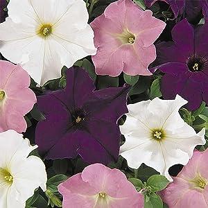 Petunia - Dream Series Flower Garden Seed - 1000 Pelleted Seeds - Waterfall Mix Blooms - Annual Flowers - Single Grandiflora Petunias
