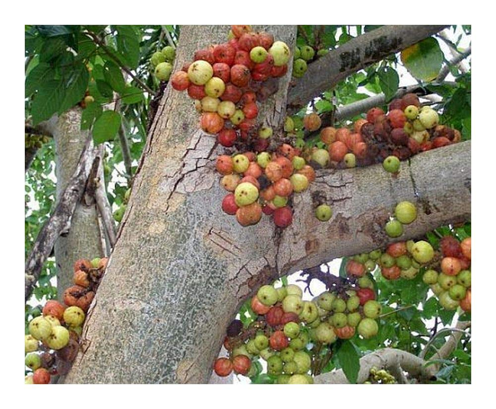 Amazoncom Ficus Racemosa Fruits Galore Fig Tree 100 Seeds