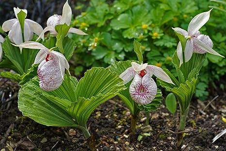 Orchidee Da Esterno.1 Pianta Di Orchidea Cypripedium Formosanum Vaso 12cm