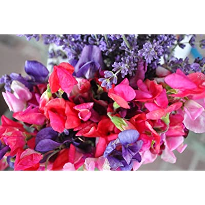 Fragrant Sweet Pea - Royal Family Mix, (Lathyrus odoratus), Vine Seeds (Showy) (30) : Garden & Outdoor