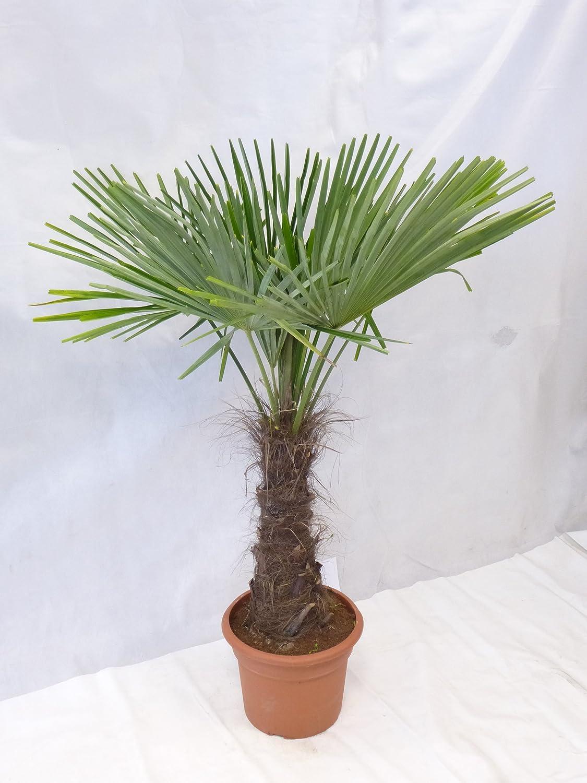 Winterharte Palme - Trachycarpus fortunei 180 cm - Stamm 60 cm 'Chinesische Hanfpalme' -17° C PalmenLager.de