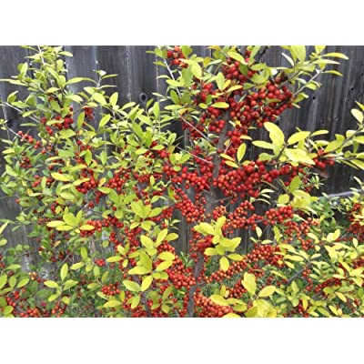 Yaupon Holly (Upright) aka Ilex vomitaria 'Pride of Houston' Live Plant Fit 5 Gallon Pot : Garden & Outdoor