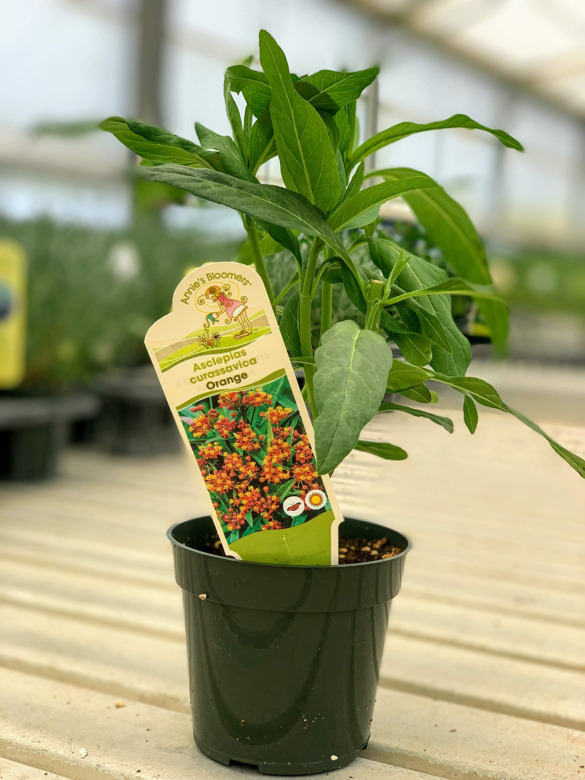 Two Live 4 Inch Asclepias Milkweed Orange. 4 Plants, 2 per Pot.