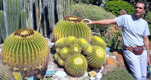 seeds cactus 50 semi  di Echinocactus grusonii cuscino della suocera