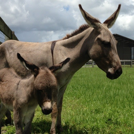 Baby Donkey Wallpaper HD Wallpapers Of Donkeys Amazonau Appstore For Android