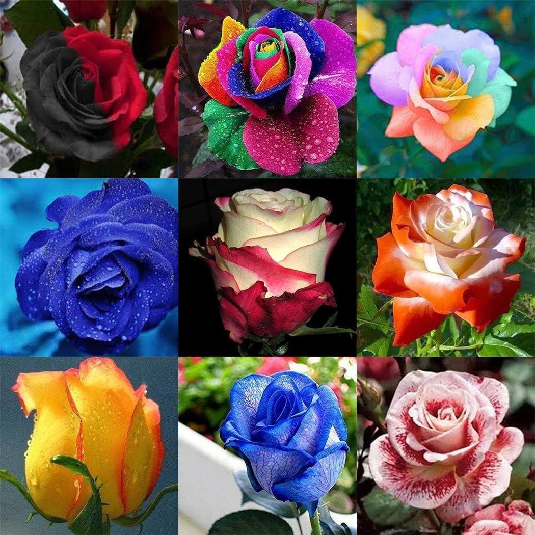 ADOLENB Seed House - 100 unidades Rare Rose Semillas Flores Semillas Rainbow Rose Semillas de flores coloridas Floración larga Hardy