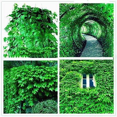 ZLKING 100pcs Ivy Flower Seeds, Plant Seeds, GreenSeeds Groundcover Creeper Grass Garden Home Plant Wall Decor - Ivy Seeds : Garden & Outdoor