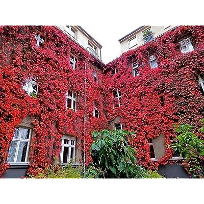 ZLKING 100pcs red Seeds Engelmann's, Five-Leaved Ivy, Parthenocissus quinquefolia Climbing Plant Creeper seedfor DIY Home Garden Outdoor Plants seedsas, pergolas and trellises. : Garden & Outdoor