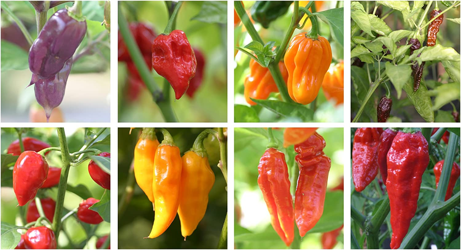 3 Lucky Dip Established 9cm Potted Chilli Pepper Plants