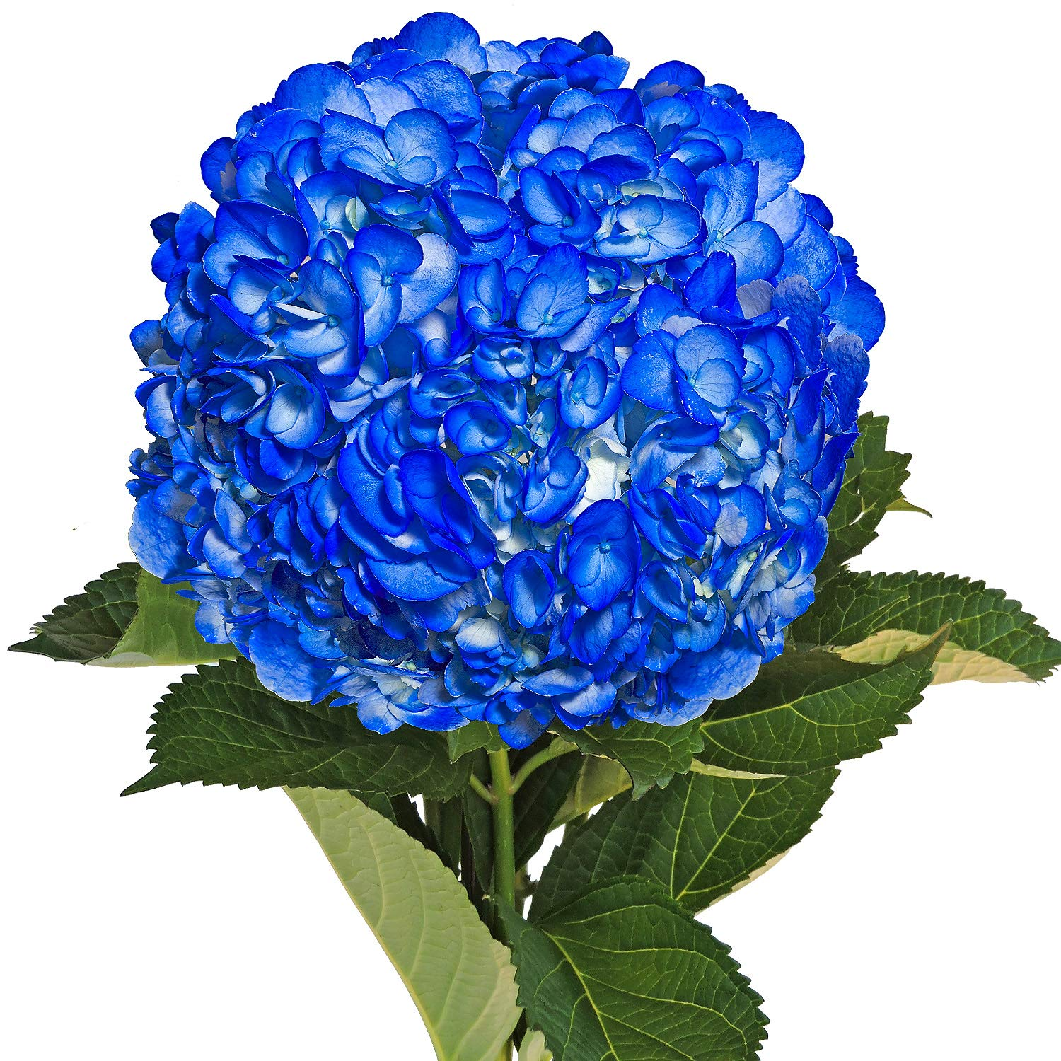 Farm Fresh Natural Painted Dark Blue Hydrangea - Pack 15 by Bloomingmore (Image #1)