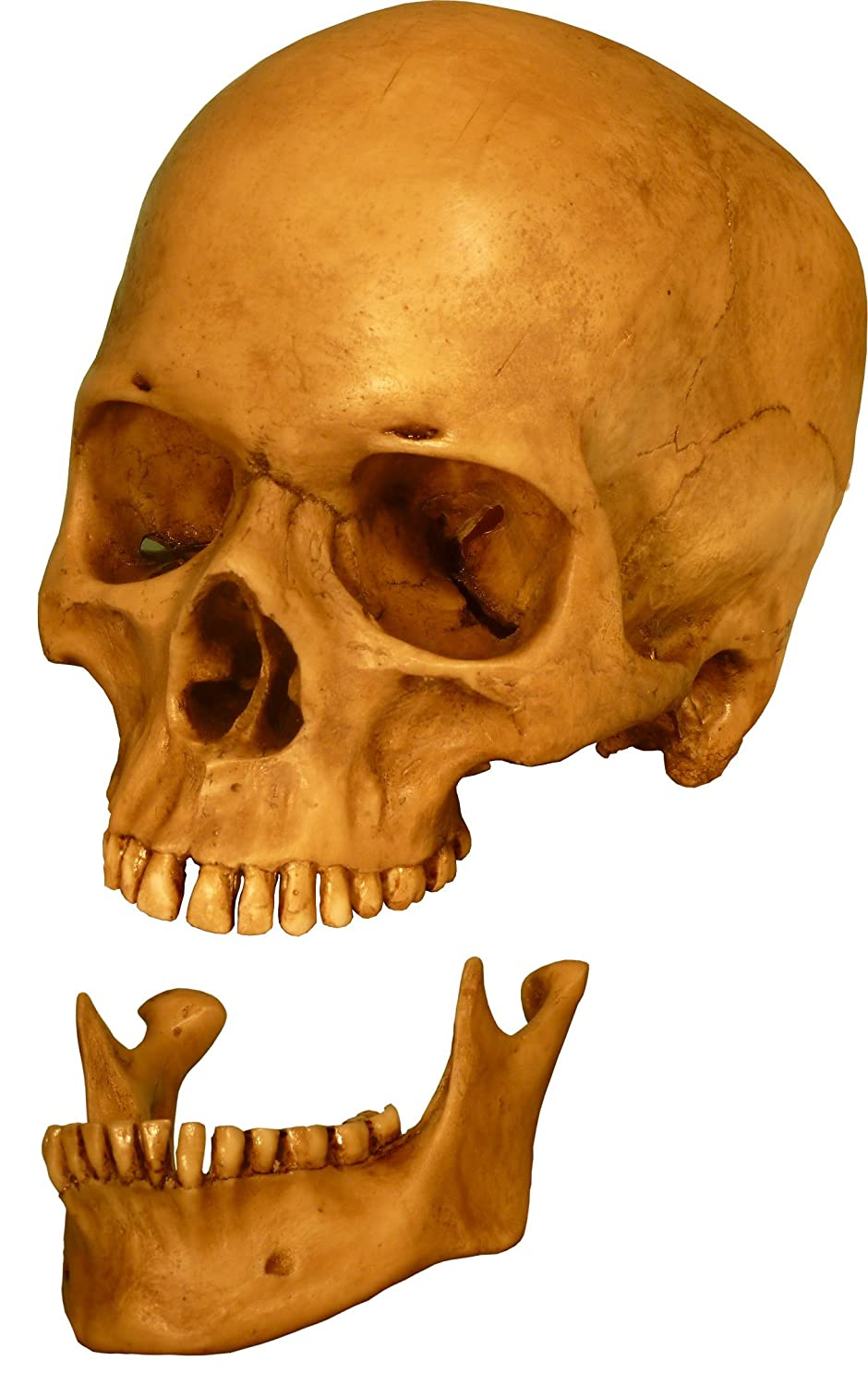Human Skull Replica With Attached Articulating Mandible Jaw Life