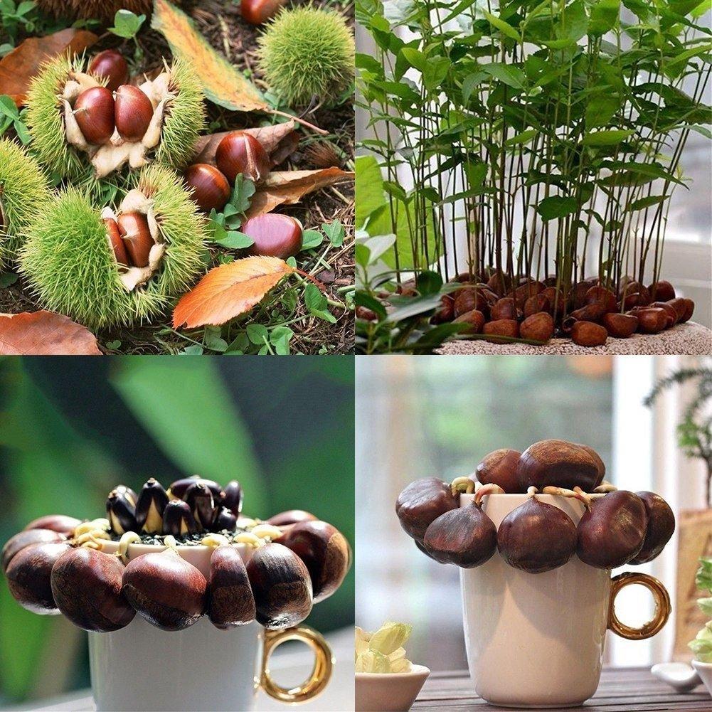 clifcragrocl Semi 2 Pz Seeds Cinese Castagno Commestibile Albero da frutto Castanea Mollissima Garden Plant - Chinese Chestnut Seeds