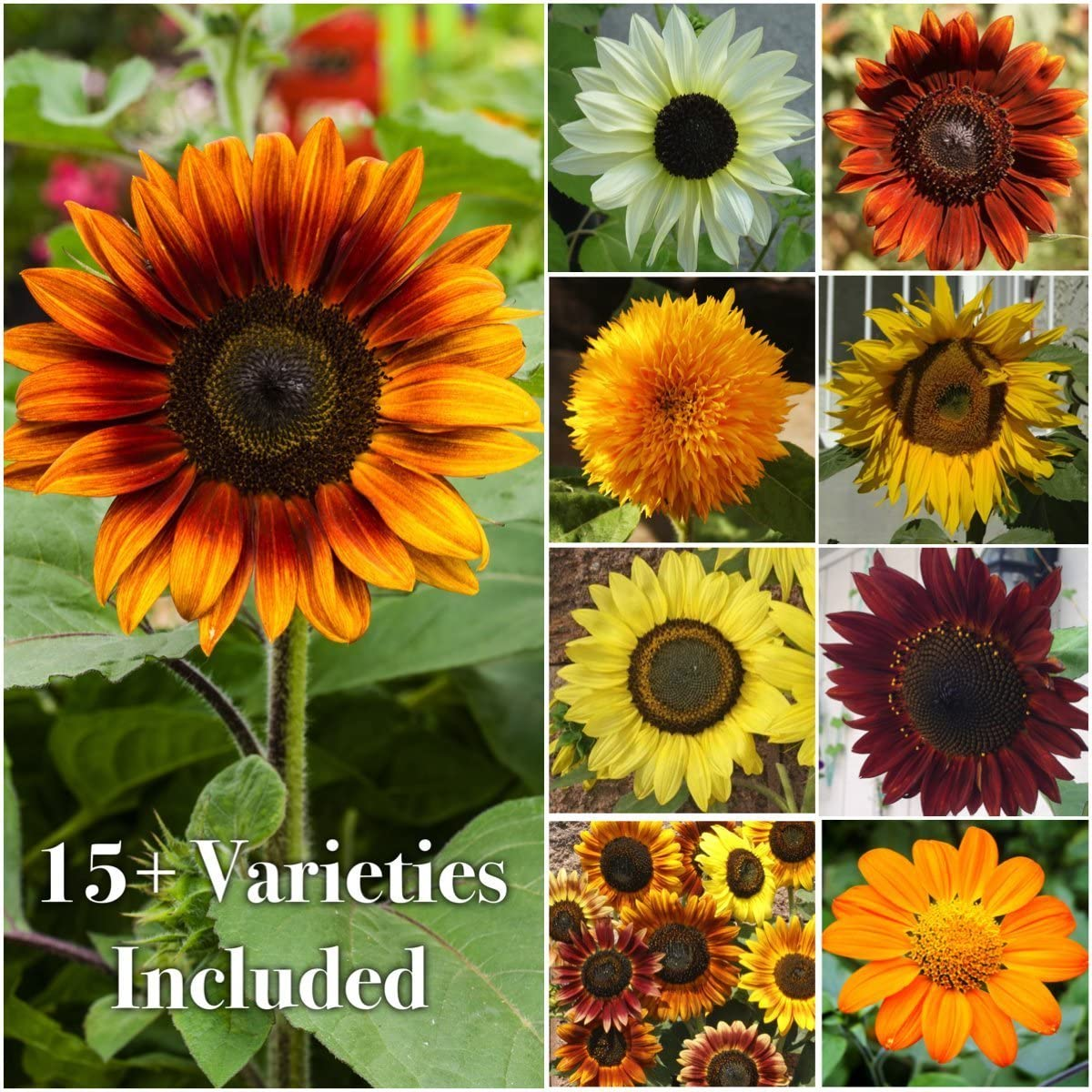 Seed Needs Bulk Package of 1,000+ Seeds, Sunflower Crazy Mixture 15+ Varieties (Helianthus annuus) Non-GMO Seeds