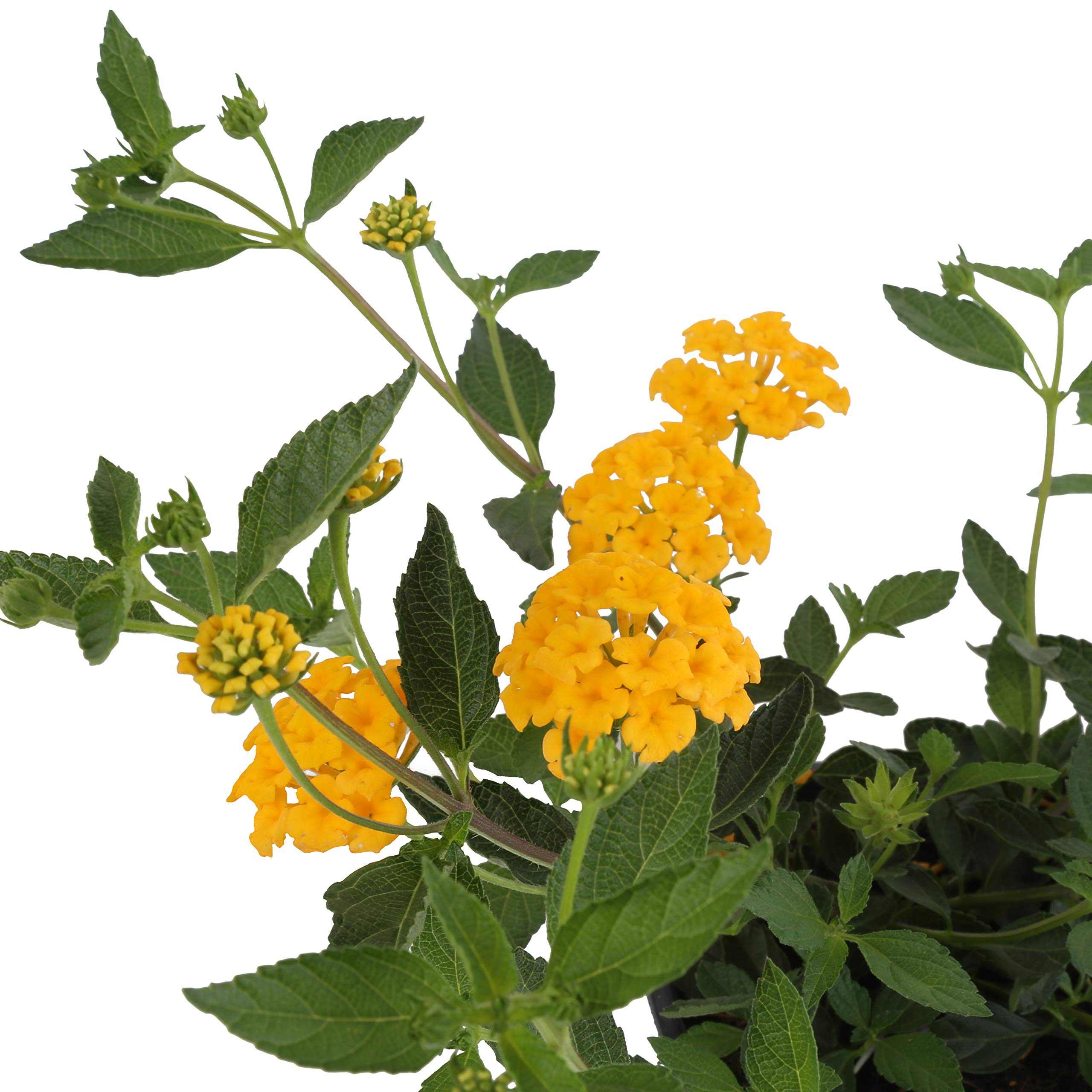 Costa Farms Live Premium Lantana Plant 1.00 qt Grower Pot, 8-Pack Yellow by Costa Farms (Image #3)