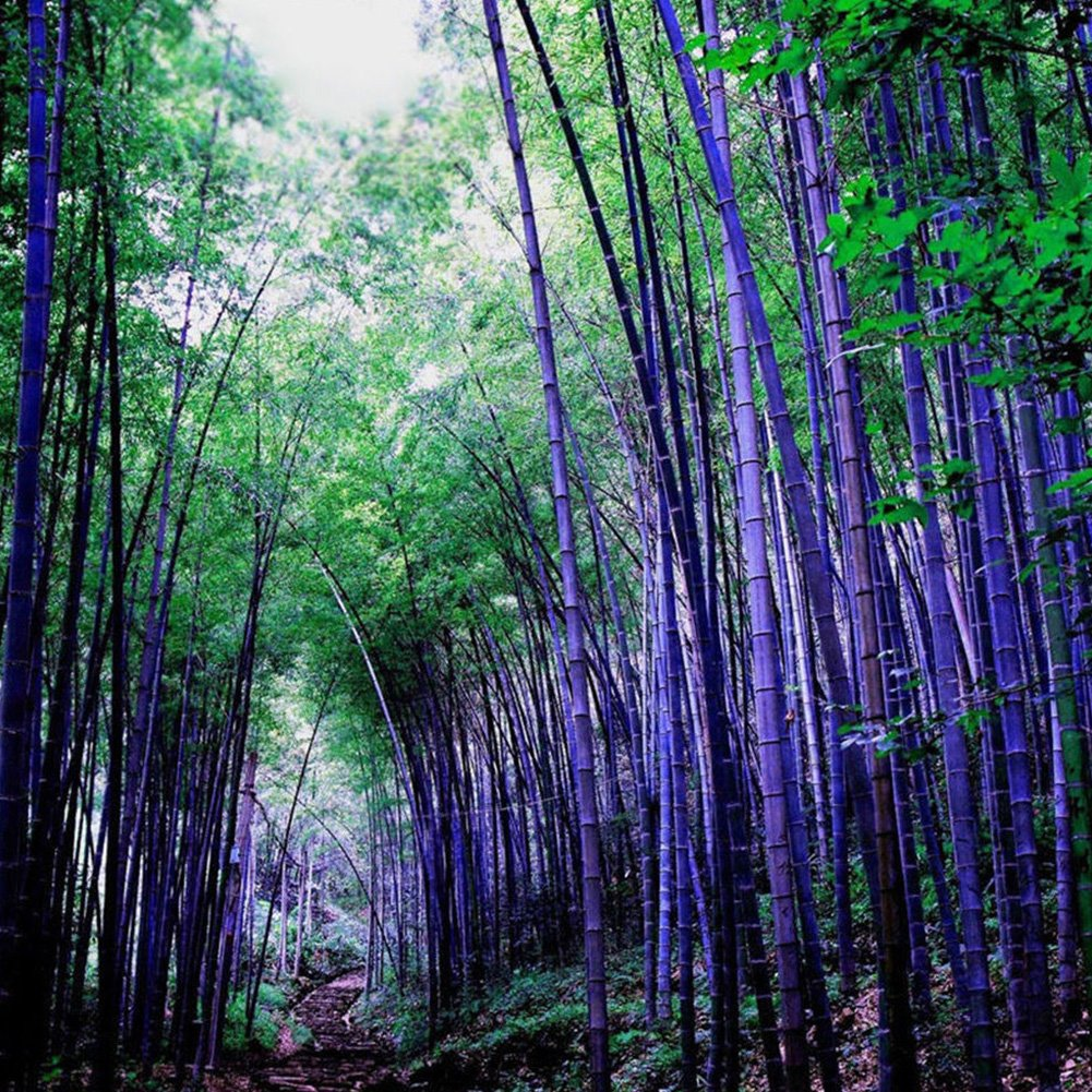 100Pcs Purple Green Moso-Bamboo Seeds, Individual Tree Plant for Your Backyard Garden Plant Decoration(Purple) Tookie