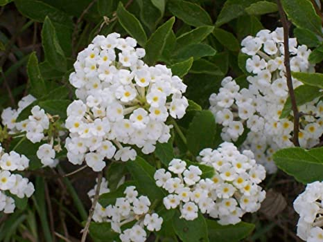 Buy Natures Buggy Lantana White Live Plant Online At Low Prices In