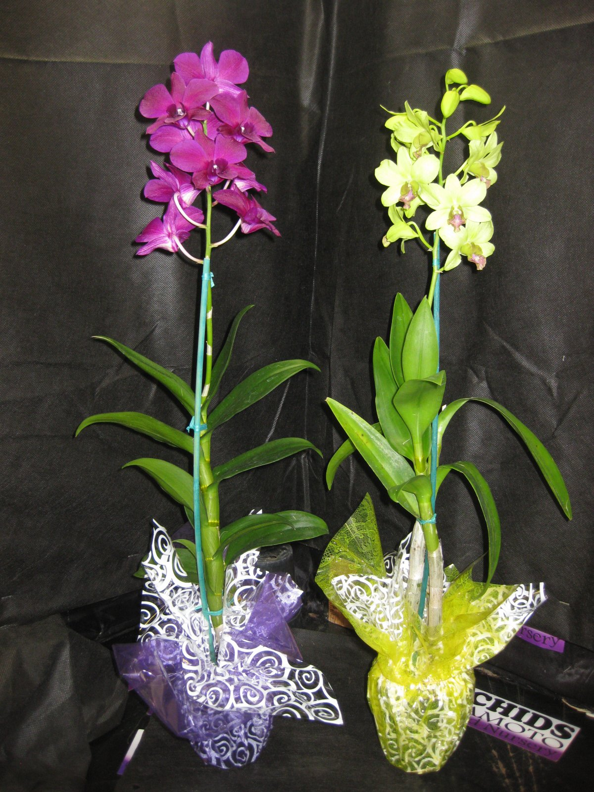 2 Blooming/Budded Flowering Dendrobium Orchid Plant-A GIFT OF ALOHA! BEAUTIFUL- Perfect Gift for any occasion
