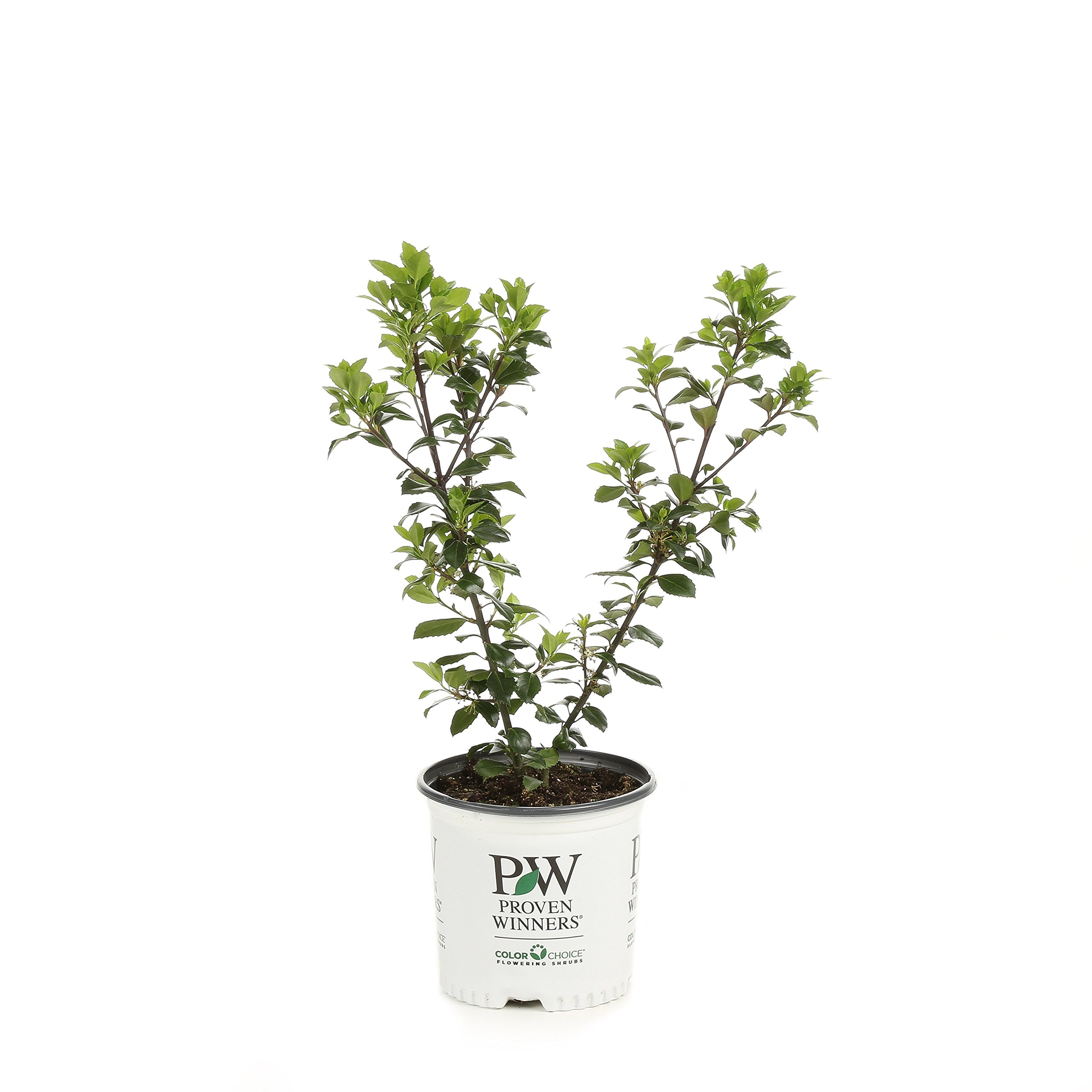 Castle Wall Blue Holly (Ilex) Live Evergreen Shrub, White Flowers, Pollinator, 1 Gallon by Proven Winners
