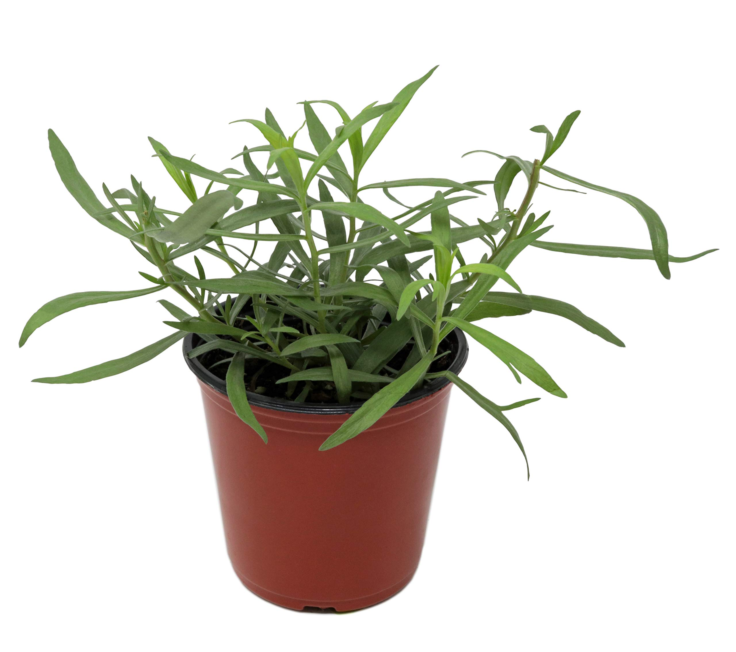 Tarragon 'French' Herb Plant (Pack of 6) by Dutch Country Classics (Image #3)