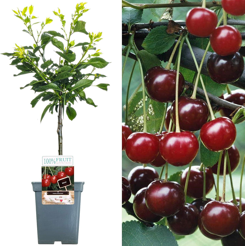 Various Premium Grade Fruits Cherry Plum 2-3ft Nectarine Ideal for Small Gardens /& Borders Apple Coxs Orange Apple Tree Peach /& Pear Trees Patio Fruit Tree Collection
