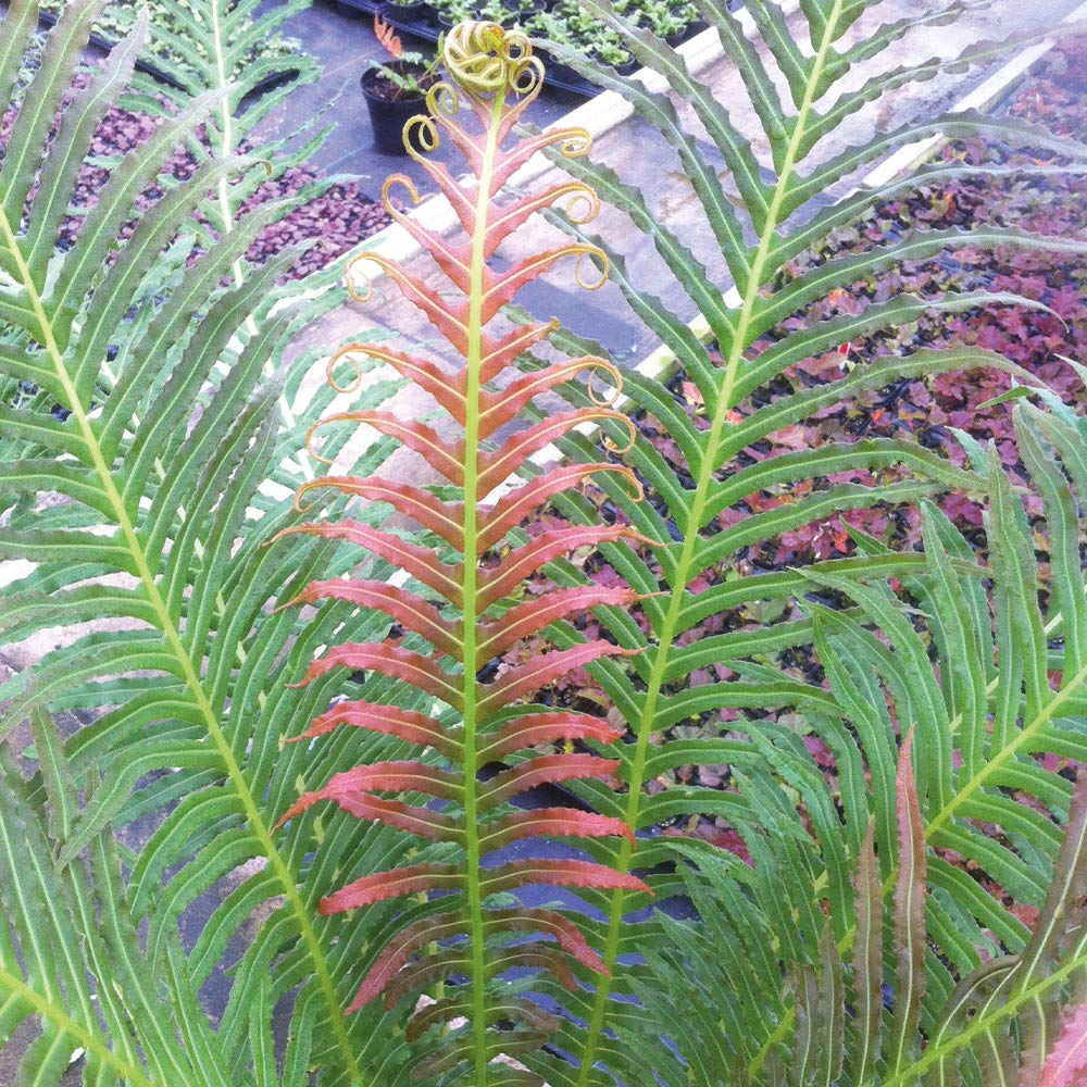 Hardy Garden Dwarf Patio Tree Fern Plant Blechnum Volcano with Colour Changing Leaves, Supplied as 1 x 9cm Blechnum Volcano (Dwarf Brazilian Tree Fern) Pot by Thompson & Morgan