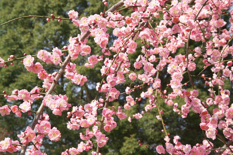Amazon Japanese Apricot Chinese Plum Prunus Mume 3 Tree