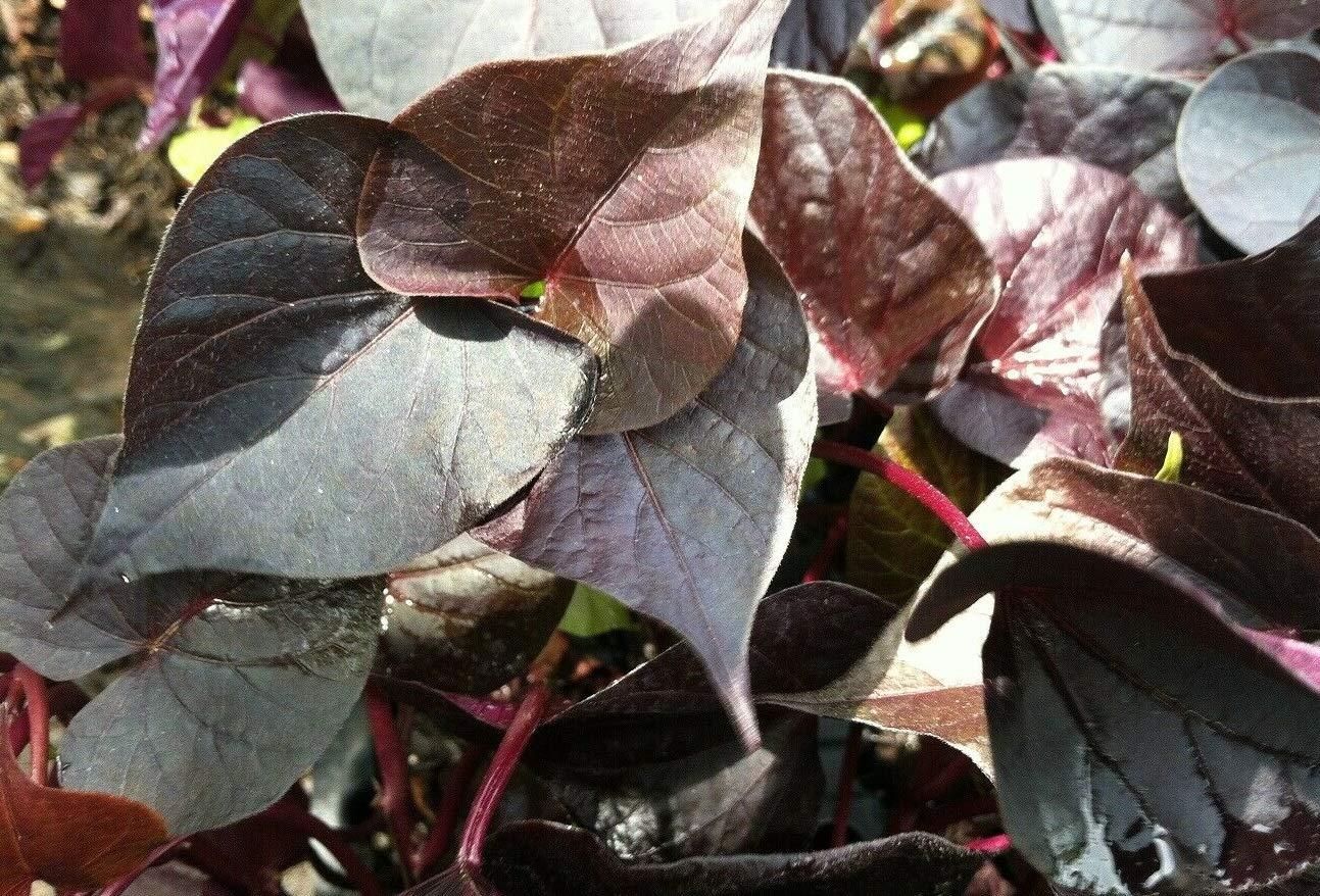 Ipomoea - Sweet Potato Vine - Ace of Spades - 6 Live Starter Plants - Plugs