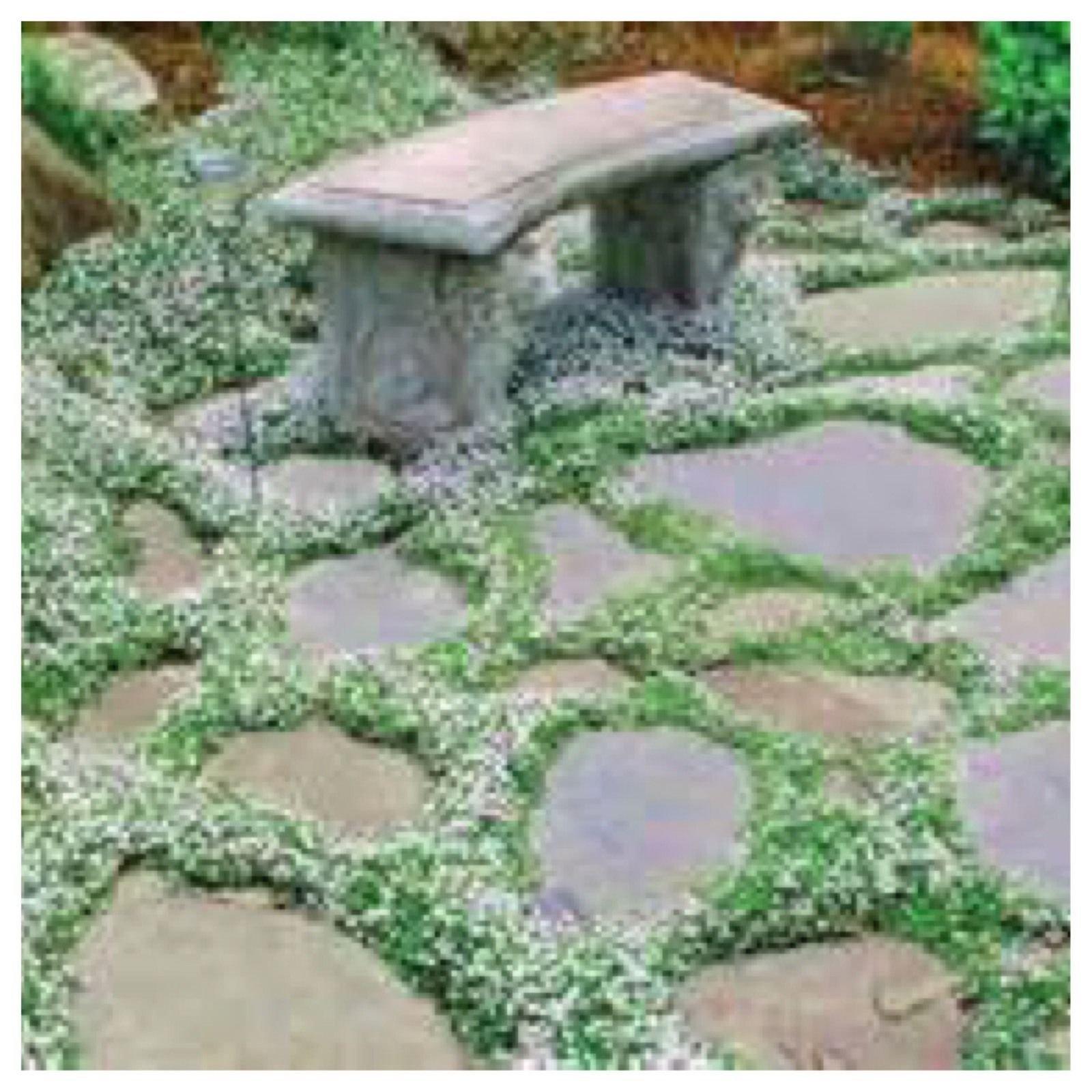Blue Star Creeper Ground cover Moss (Laurentia fluviatilis) Hardy