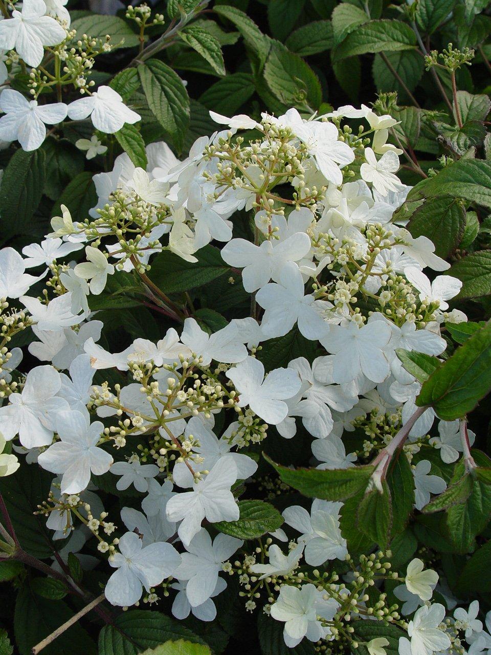 Amazon Prague Viburnum White Flowering Plant In 3 Gallon Pot
