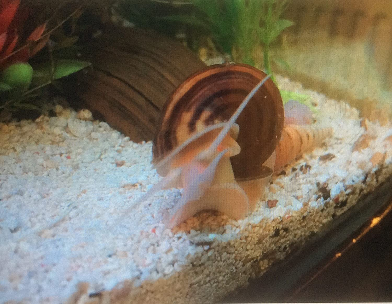 5 X Live Tropical Aquarium Juvenile Pomacea Bridgesii Spike Topped