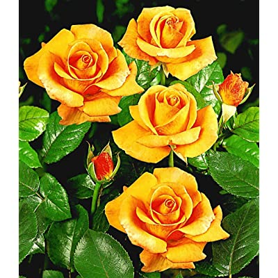Earth Seeds Co 40 Pcs Standard Rose Flower Seeds, Highly Unique, and with a Delicious Smell, Ideal for beds and Borders : Garden & Outdoor