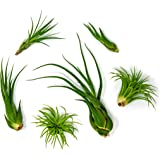 6 Air Plant Terrarium Kit - Tillandsia Variety Pack - Assorted Species of Live Air Plants for Sale - House Plants Indoors by Aquatic Arts