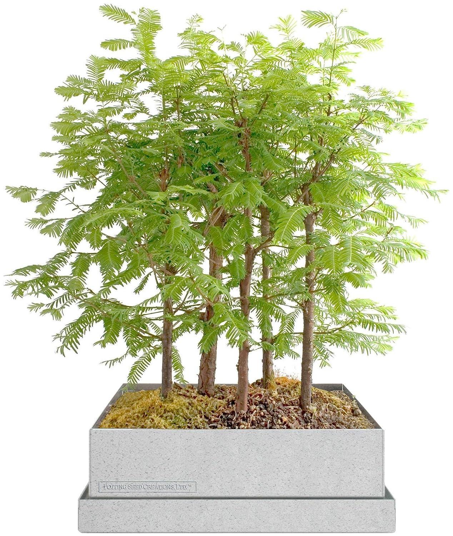 Amazon.com: Caja para armar bosque bonsai de secuoya ...