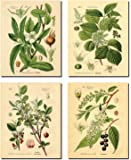 Popular Old-Fashioned Plant Botanical Prints; Four 8x10in Poster Prints