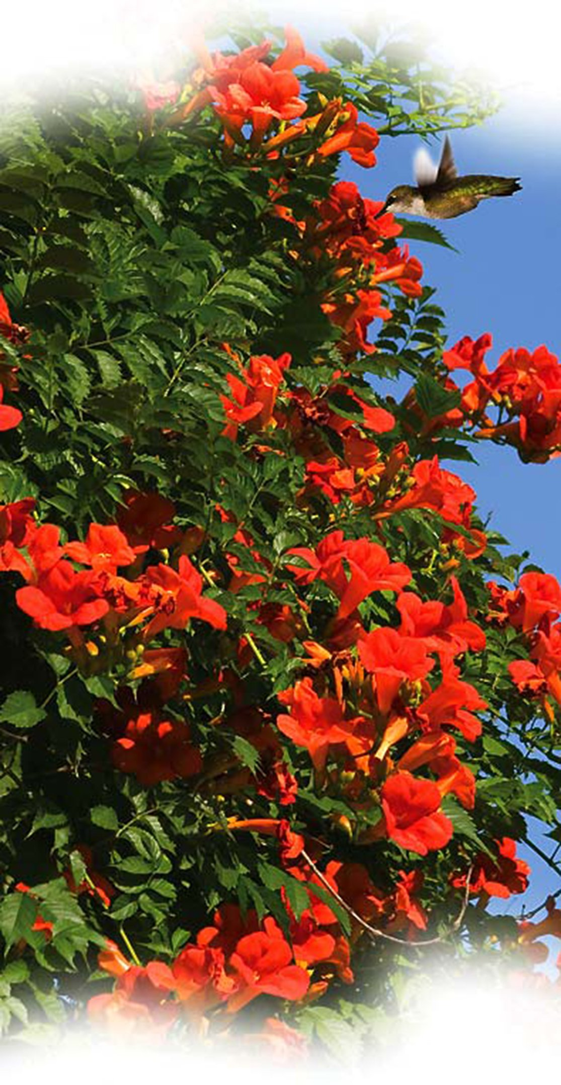 Trumpet Vine Creeper, Trumpet Flower, Campsis radican, (6) 16''-24'', Orange Flower, Orange Flowers, Vine, Vines, Hummingbird Vine, Hummingbird Flowers, Trumpet Vine Flower, Live Plants, Plant by Organic Heirloom Plants (Image #2)