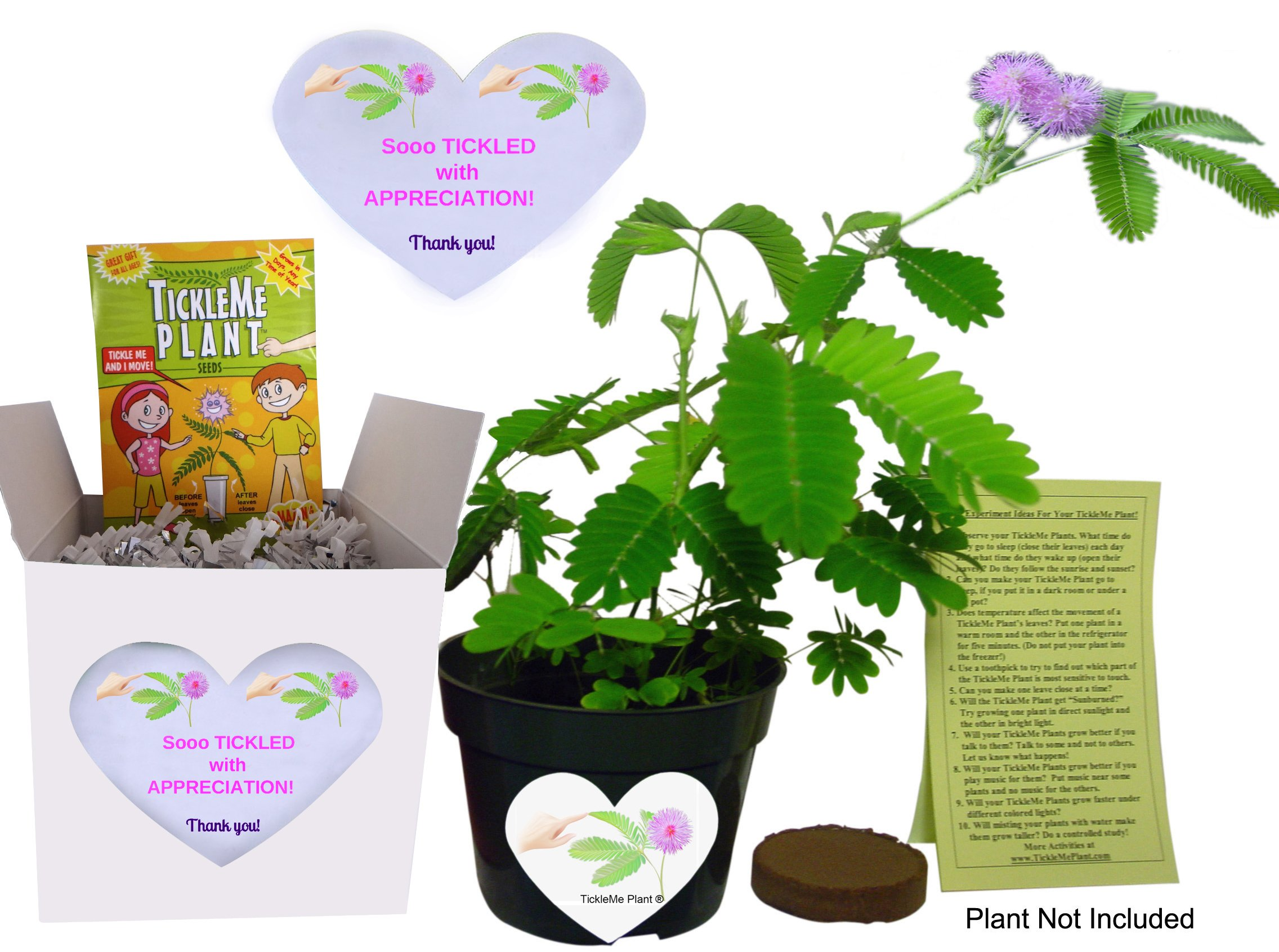 TickleMe Plant Fun Alternative to a THANK YOU Card. So Tickled APPRECIATION Gift Box - Grow the House Plant that Closes Its leaves lowers ts branches when you TICKLE it everyone SMILES!