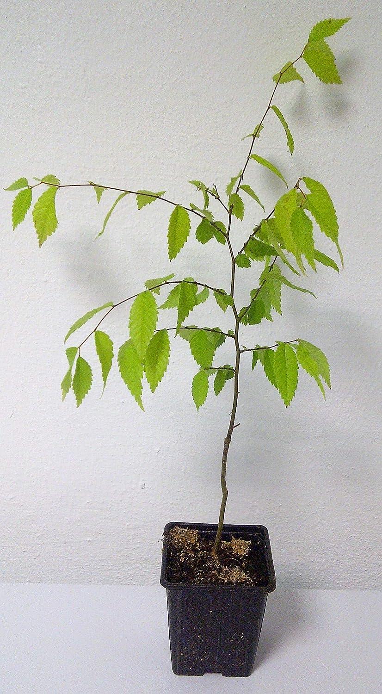 Japanische Zelkove Zelkova serrata Pflanze 25-30cm Keaki Japanische Ulme Rarit/ät