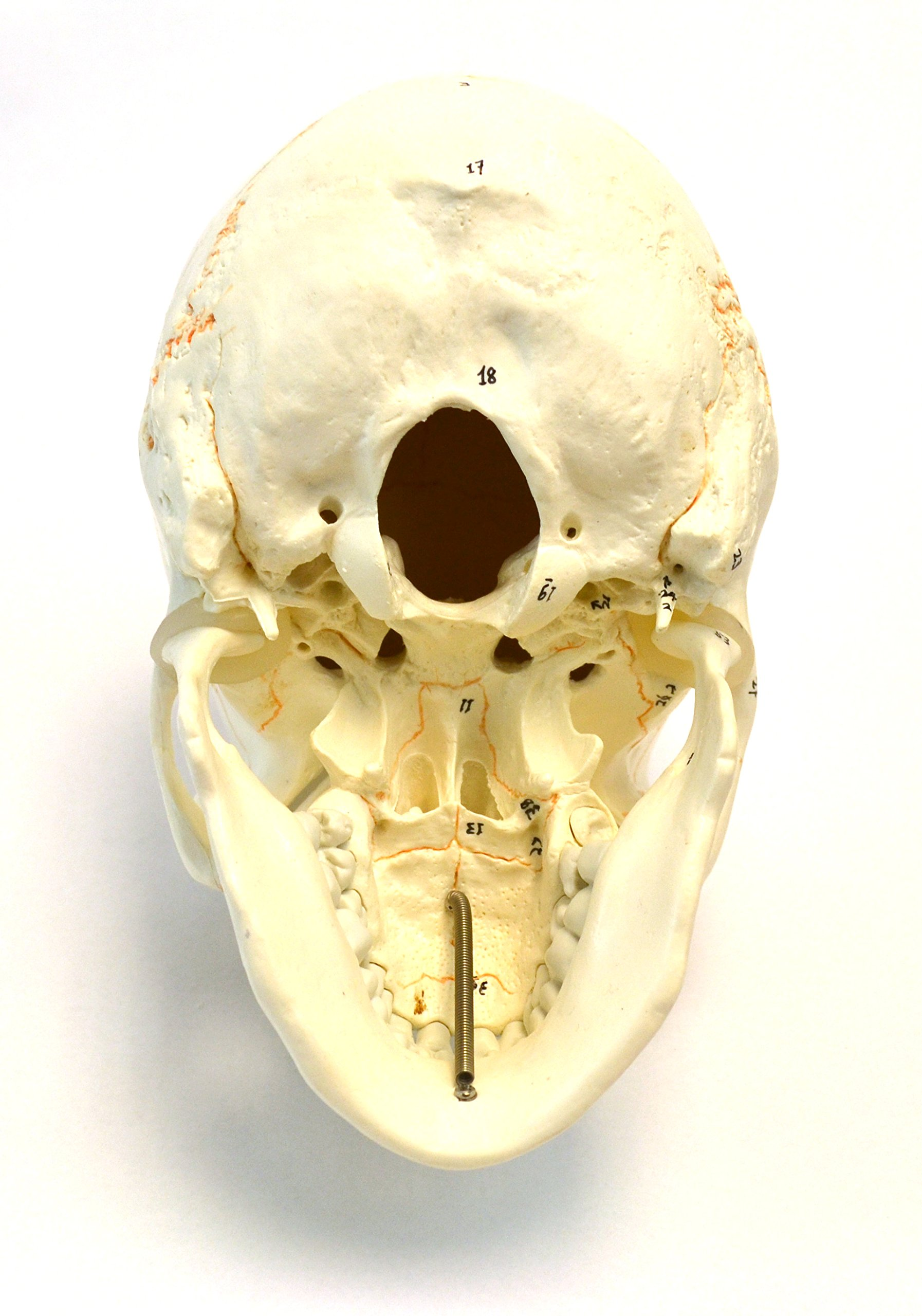 Numbered Human Adult Skull Anatomical Model, Medical Quality, Life Sized (9'' Height) - 3 Part - Removable Skull Cap - Shows Most Major Foramen, Fossa, and Canals - Includes Full Set of Teeth by hBARSCI (Image #4)