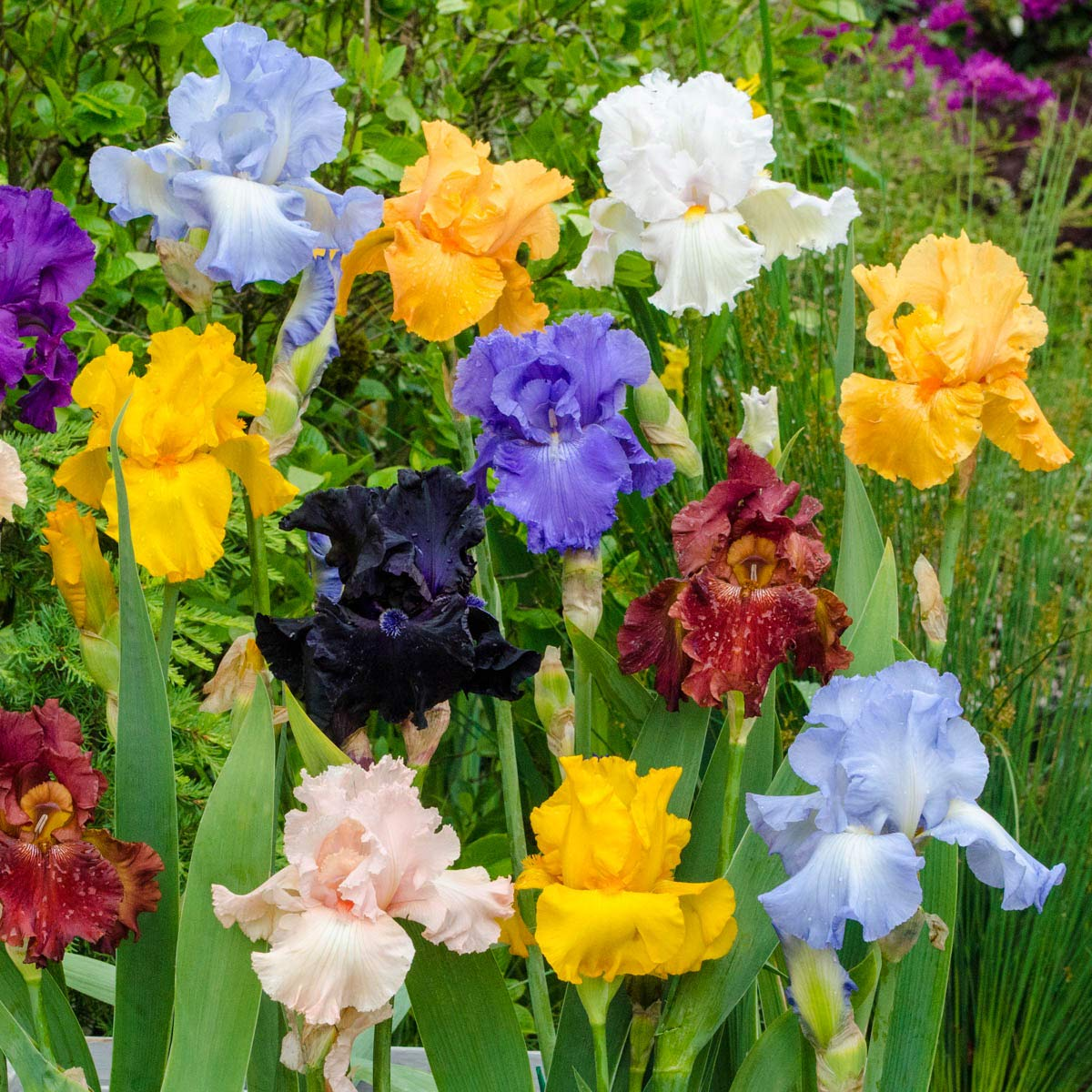 Breck's Bulbs and Perennials Reblooming Tall Bearded Bare Root Iris Mixture - Specially Selected Mixture of Colourful German Irises Will Bloom not Once, but Twice! Includes 5 Rhizomes per Order. by BRECK'S