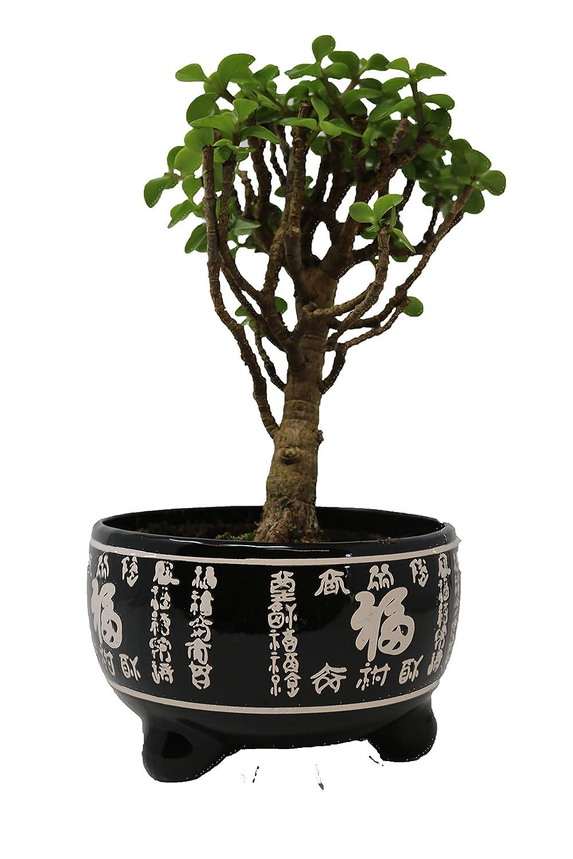 Bonsai Tree - Crassula in Black Ceramic Pot - Tree Height Including Pot 20-30cm Bonsai2u
