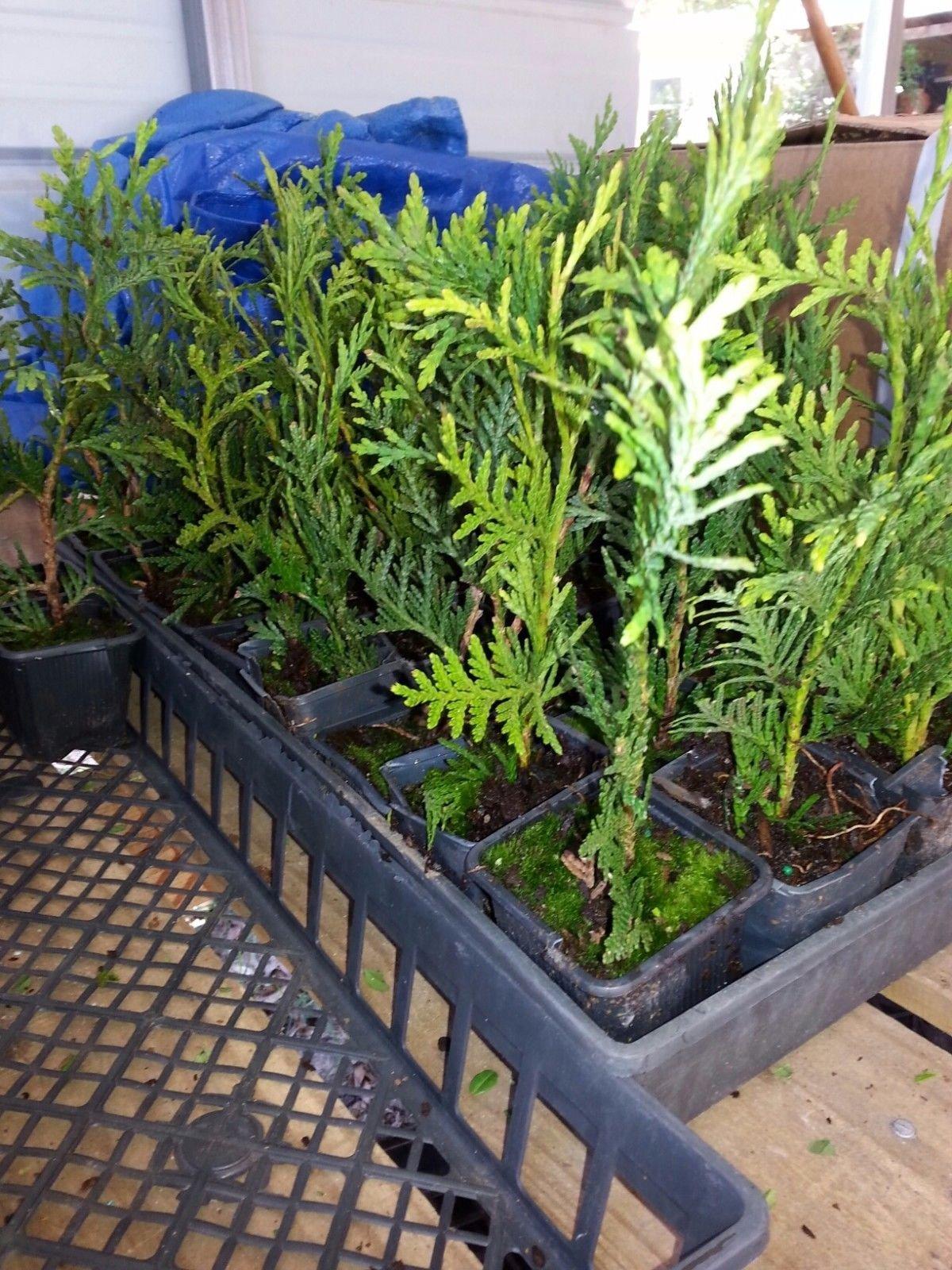 Green Giant Arborvitae, 100 plants, upright evergreen plants,