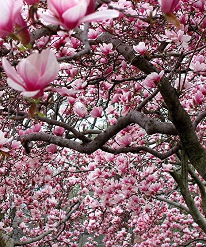 Amazon Com 1 Ann Magnolia Shrub Tree 8 16 Bv Garden Outdoor