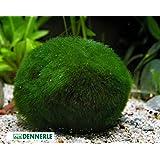 Marimo Moss Ball Boule de mousse pour aquarium Grande taille 5-7 cm